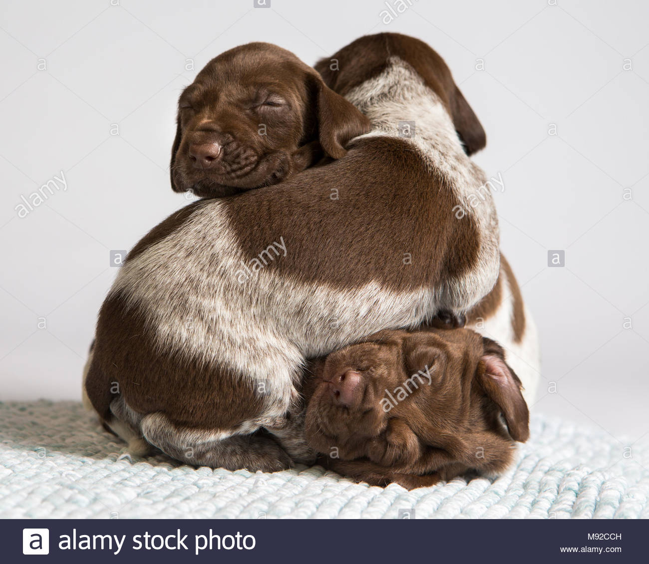 Brown and white german shorthaired pointer puppies sleeping in a pile against a white studio background - Stock Image