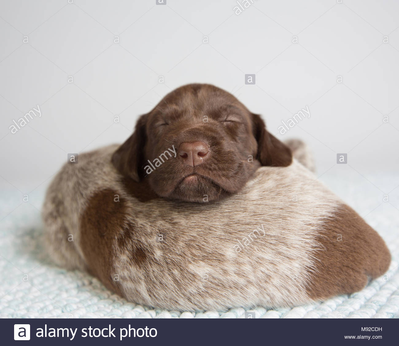 Two german shorthaired pointer puppies sleeping on top of each other in studio against white background - Stock Image