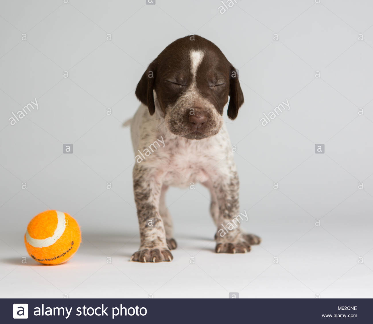 Brown And White Pointer Dog Stock Photos & Brown And White Pointer ...