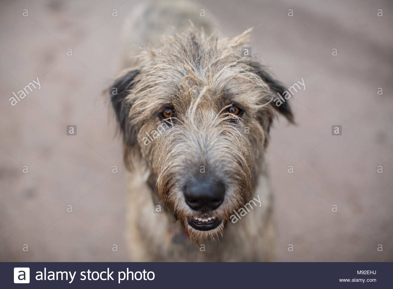 Close-up of an Irish Wolfhound with soulful brown eyes - Stock Image
