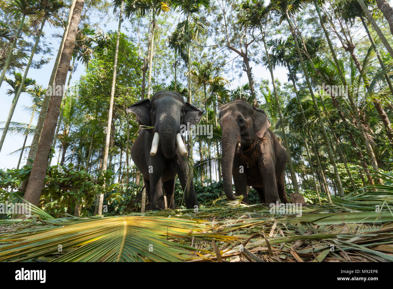 Two elephants at Thekkady, Periyar, Kerala, India used to take tourists on rides. - Stock Image