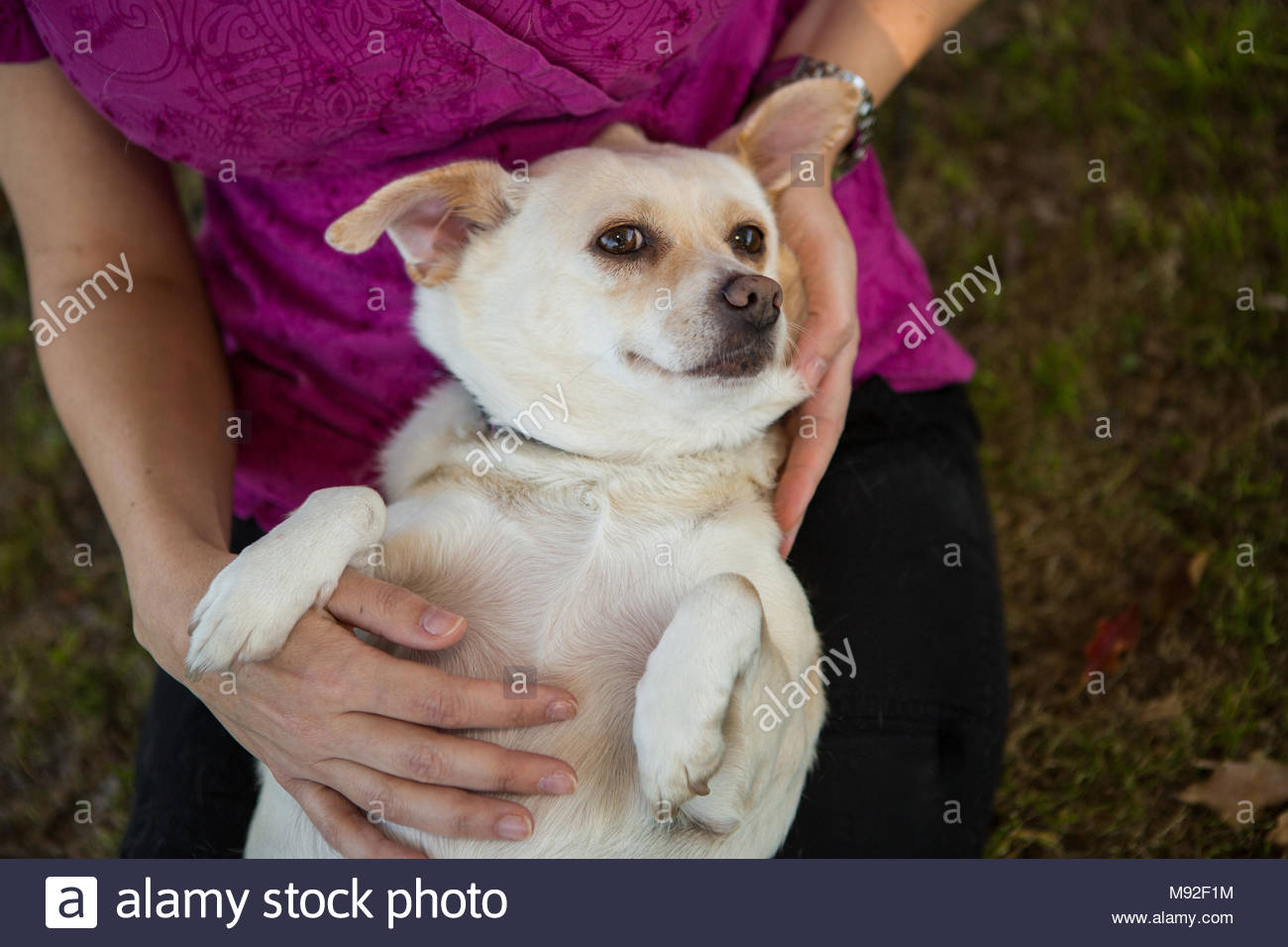 small white chihuahua-terrier mix dog laying on his back in womans lap being petted and looking at camera - Stock Image