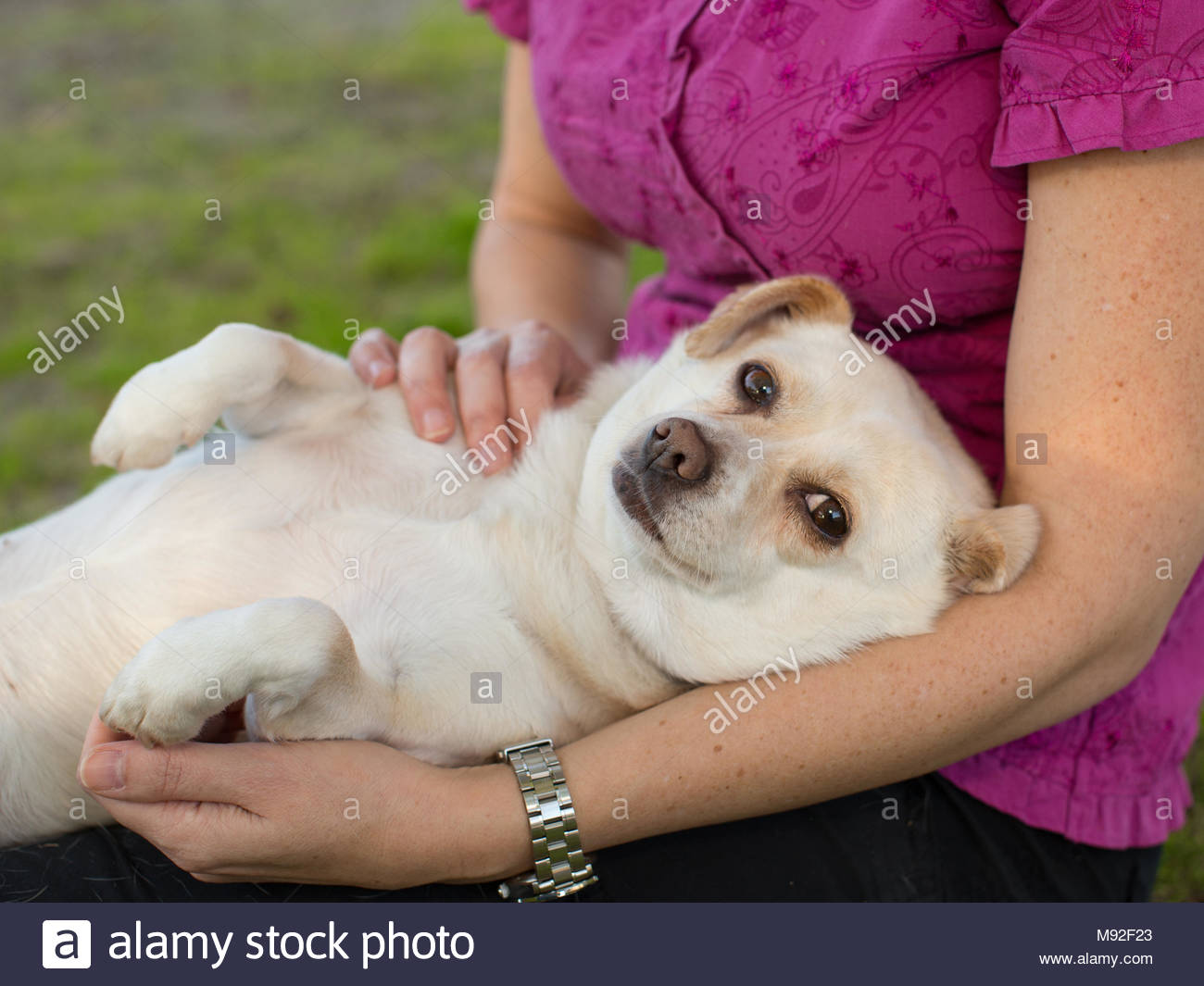 Small white chihuahua looking at camera lying in woman arms - Stock Image