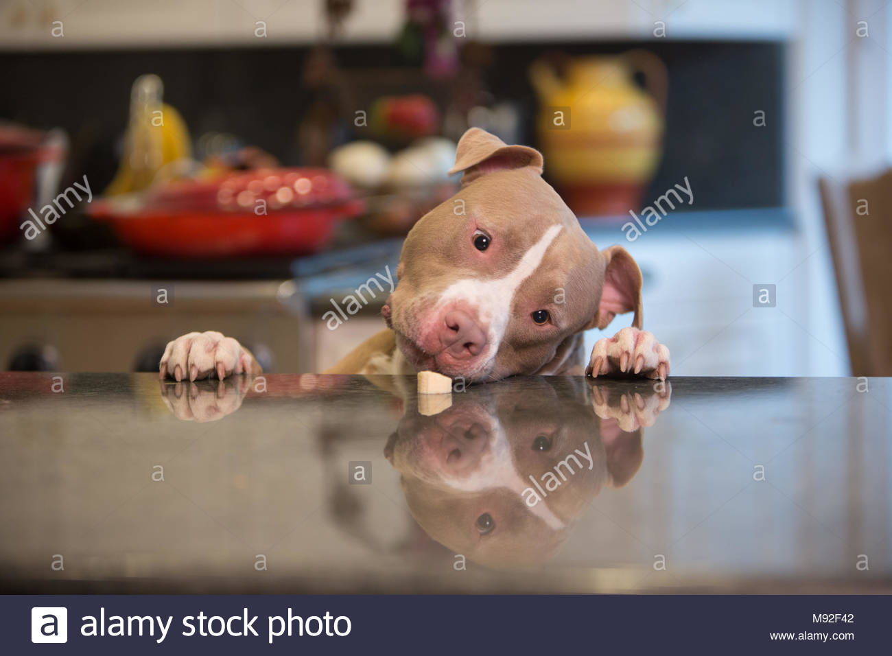 brown and white pit bull dog with paws on kitchen counter about to eat a banana - Stock Image