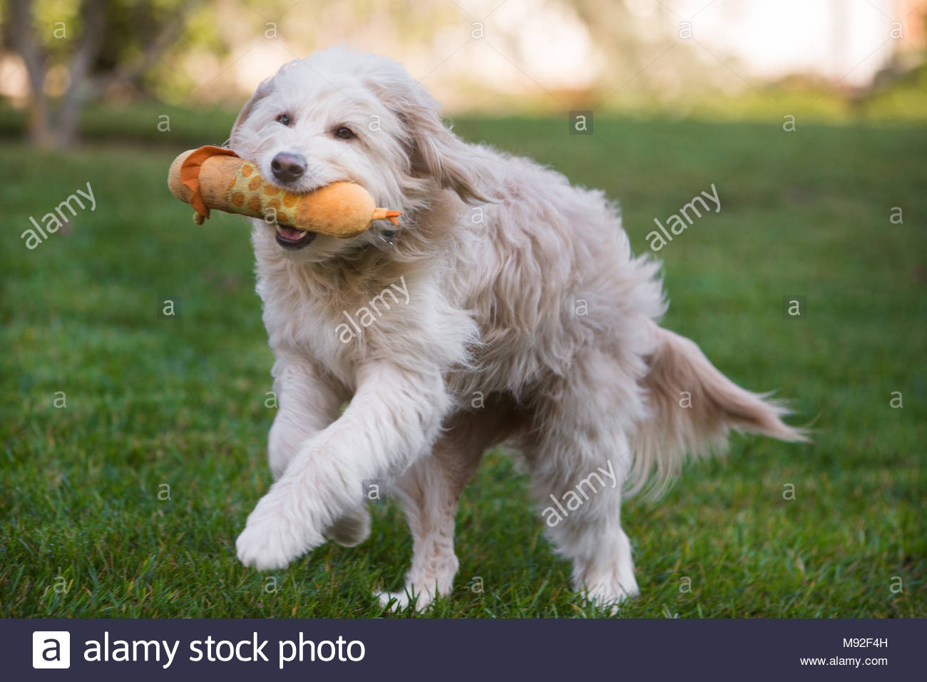 White goldendoodle running on grass with stuffed toy in mouth - Stock Image