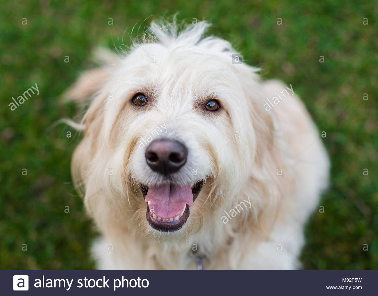 Close-up of happy smiling cream colored golden doodle taken from above - Stock Image