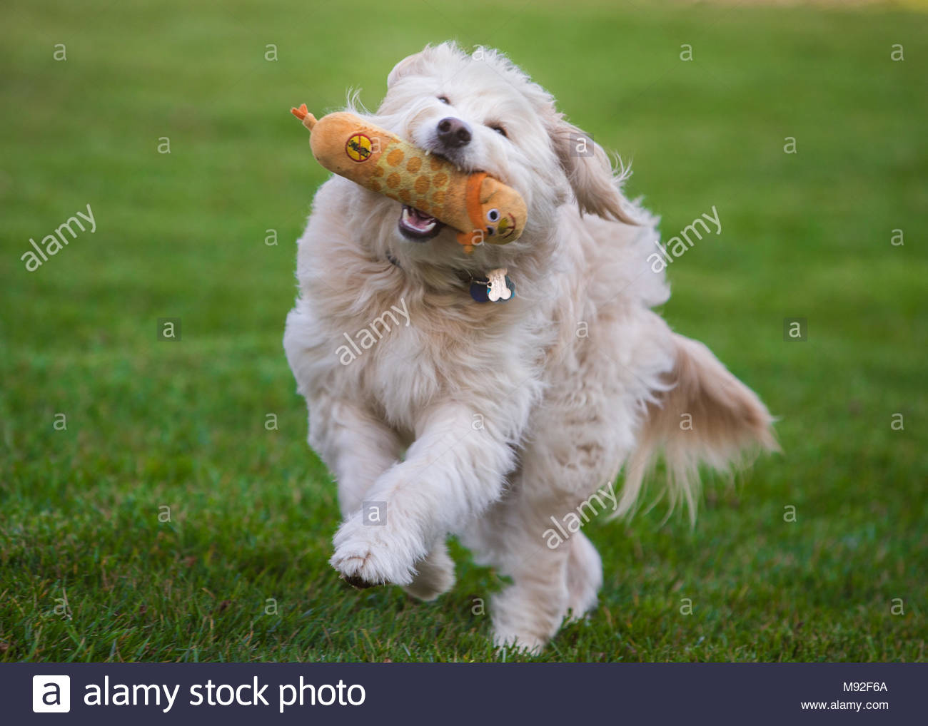 Cream-colored labrador poodle mix dog running at three-quarter angle toward camera with toy in mouth and eyes closed - Stock Image