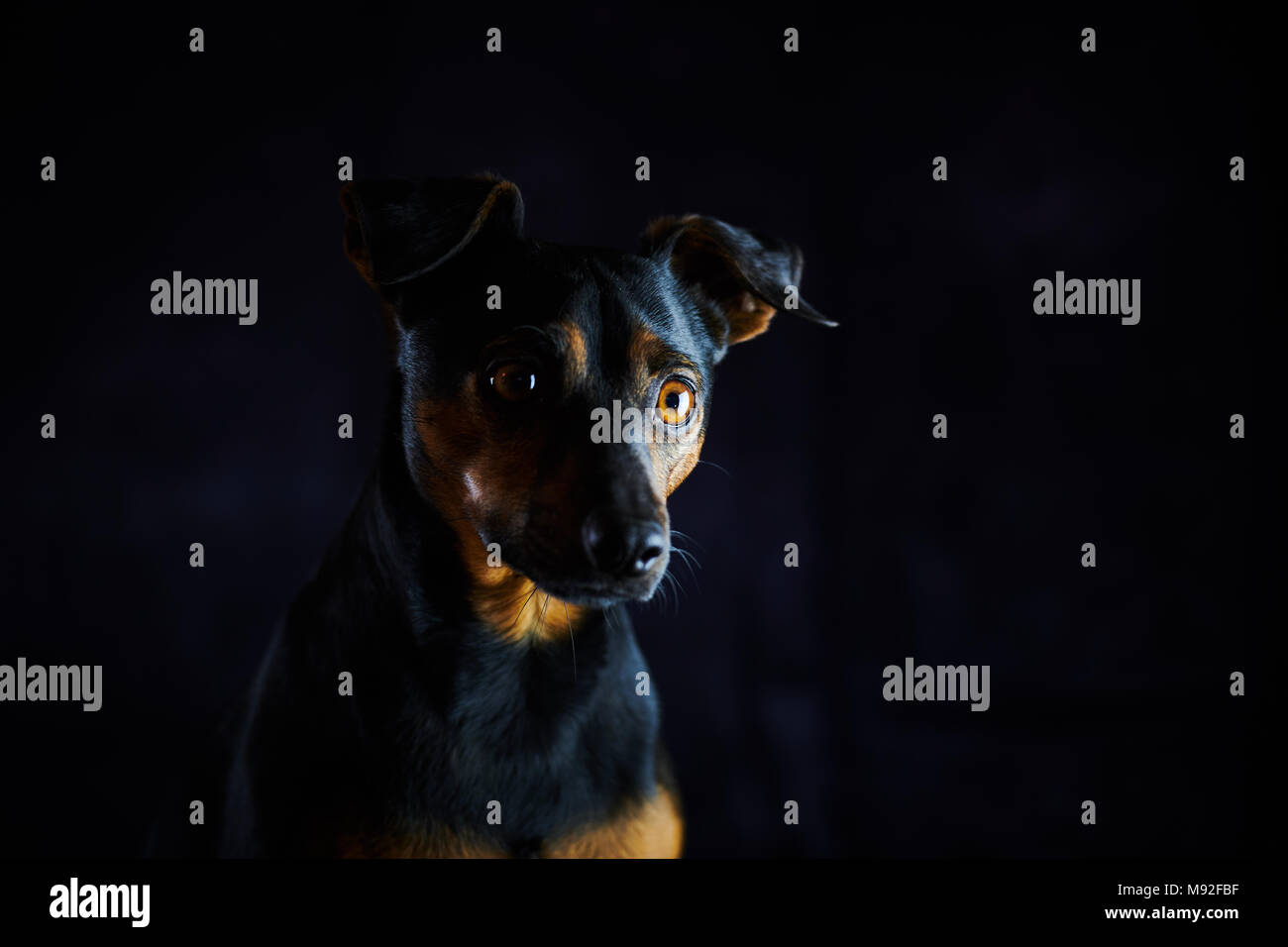 A small black & Tan Patterdale Lakeland dog, photographed in a studio environment with a dark background. Focus is on the right eye - Stock Image