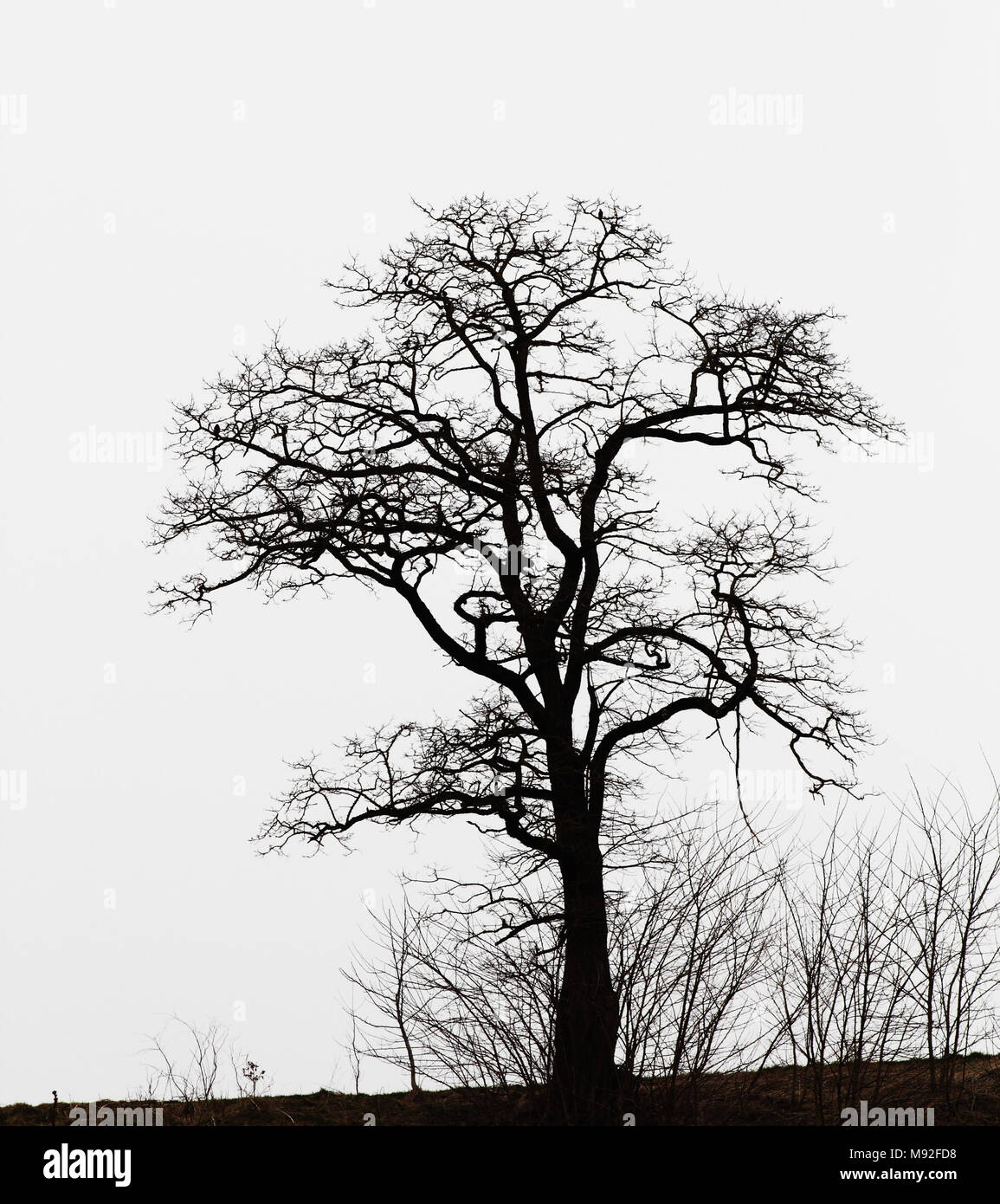 Robinia in winter - Stock Image