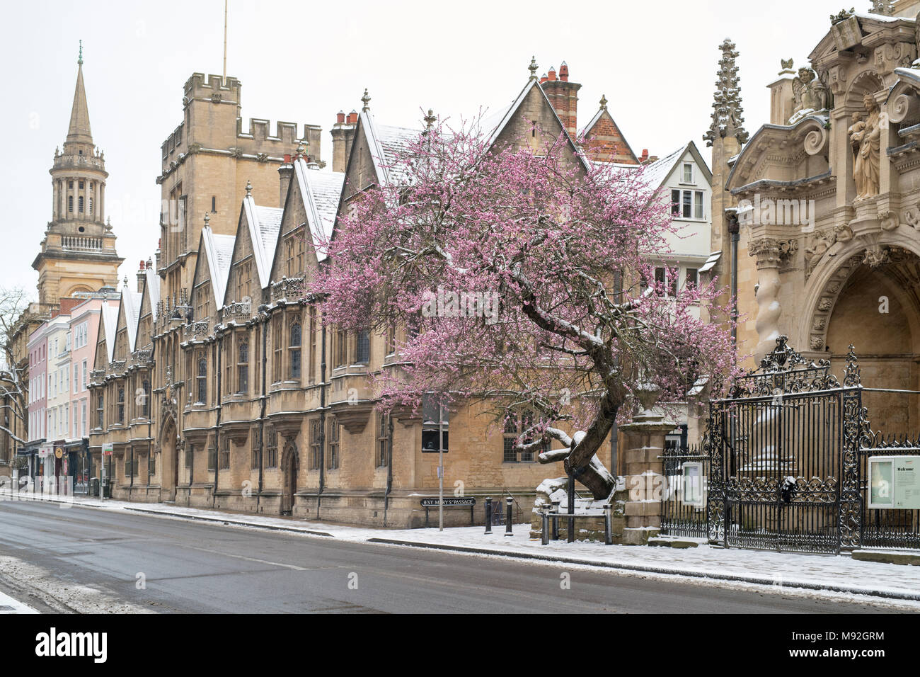 Almond Tree in blossom in the snow outside St Marys Church, High Street, Oxford, Oxfordshire, England - Stock Image