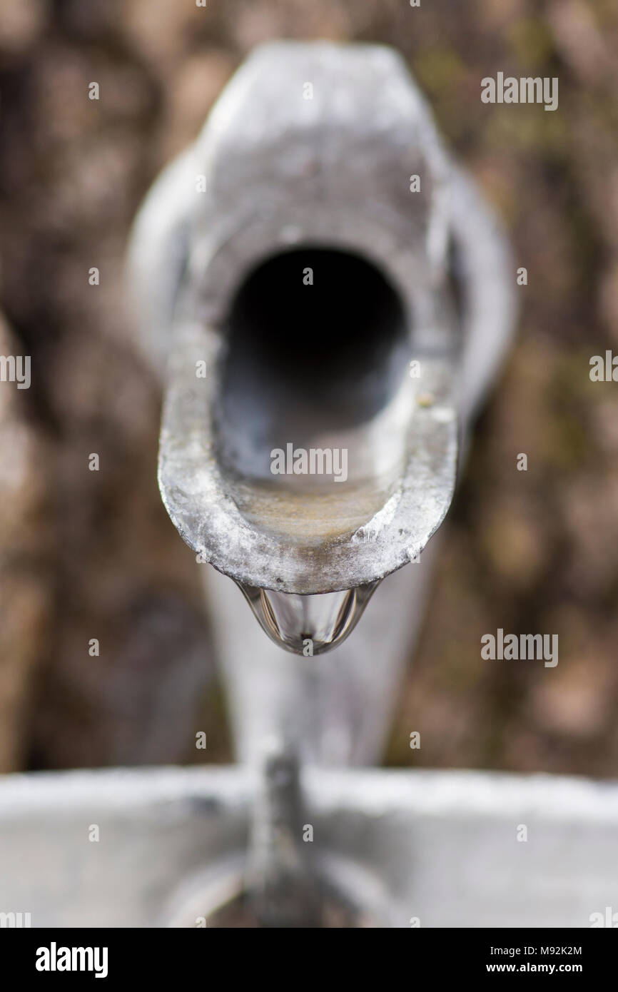 Close up of maple syrup spigot dripping sap into bucket. - Stock Image