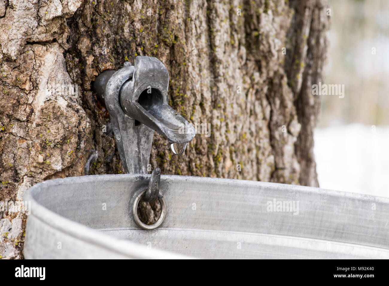 Maple syrup spigot dripping sap into bucket. - Stock Image