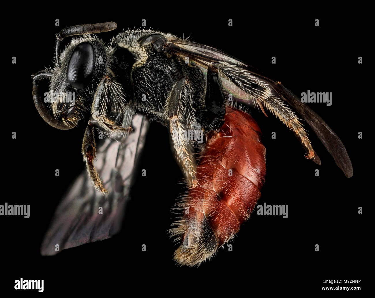 Sphecodes species, F, Side, MD, Cecil County - Stock Image
