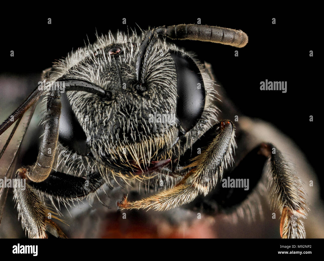 Sphecodes species, F, Face, MD, Cecil County - Stock Image