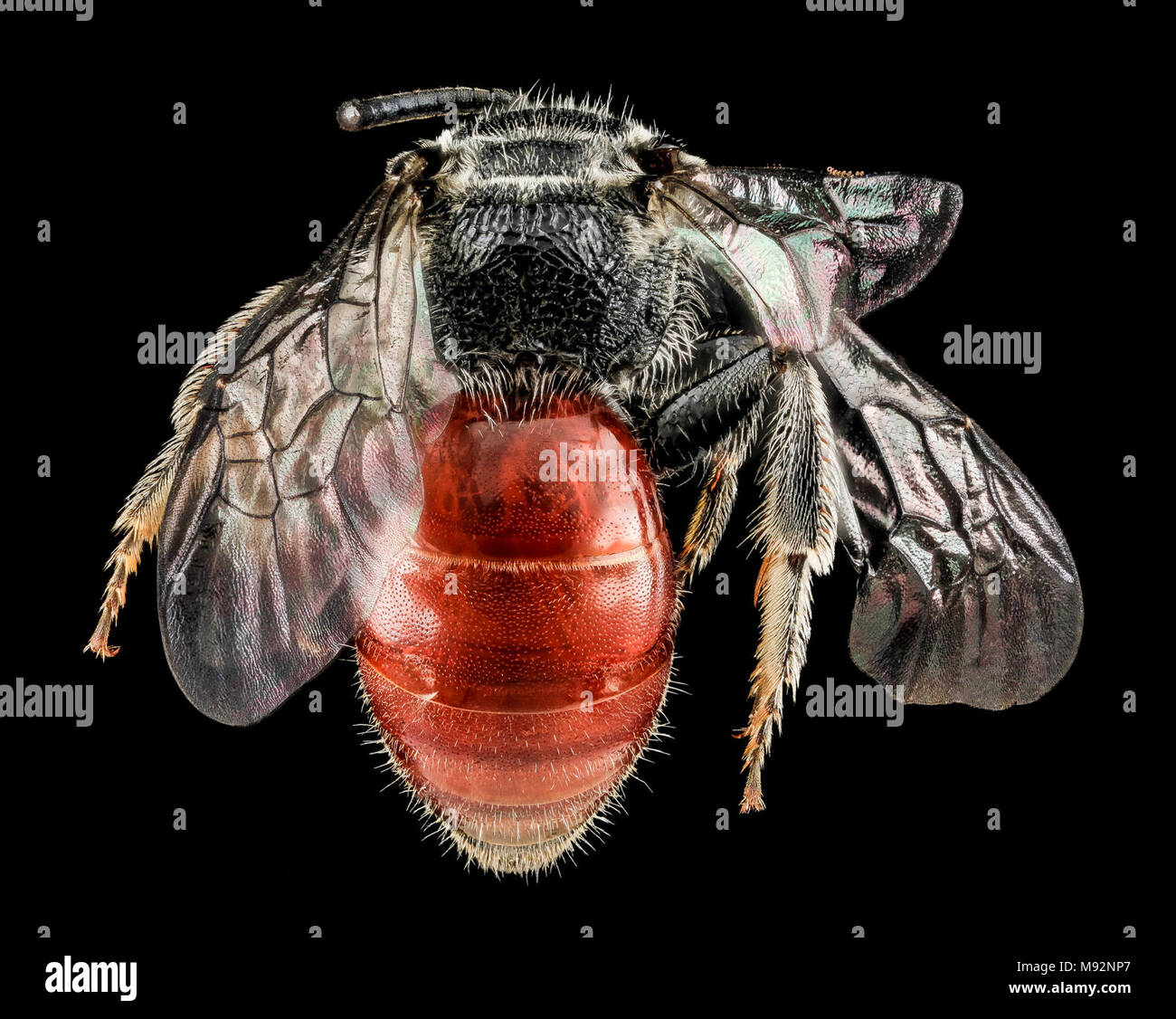 Sphecodes species, F, Back, MD, Cecil County - Stock Image