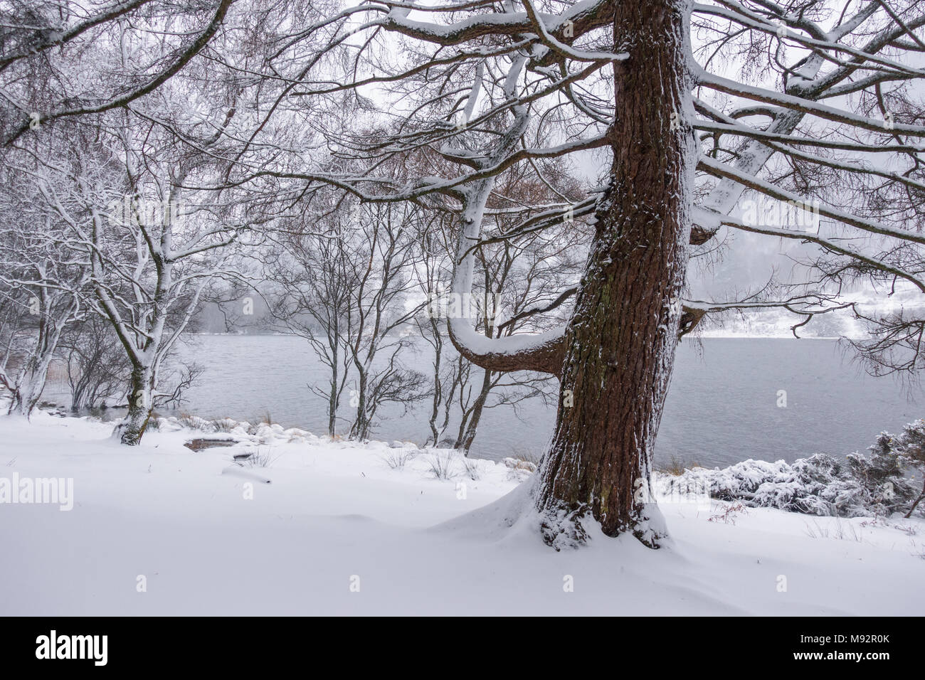 Snow in the forest - Ireland - Stock Image