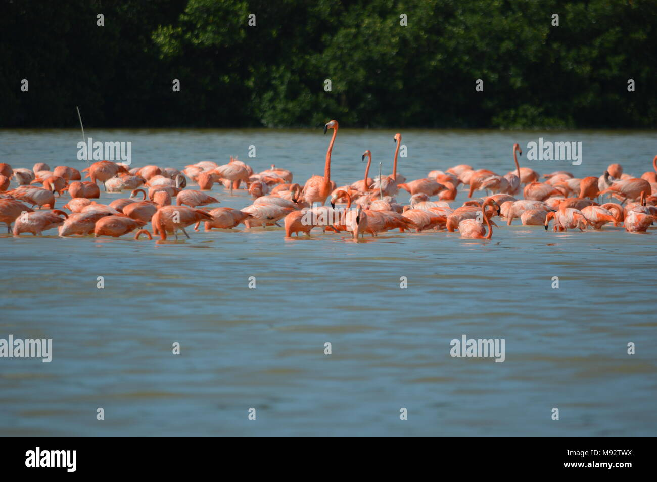 A group of American flamingos in Celestun, Mexico - Stock Image