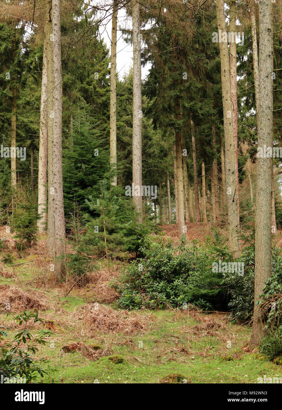 English Woodland scene in the Chiltern Hills with pine trees growing on the hillside - Stock Image