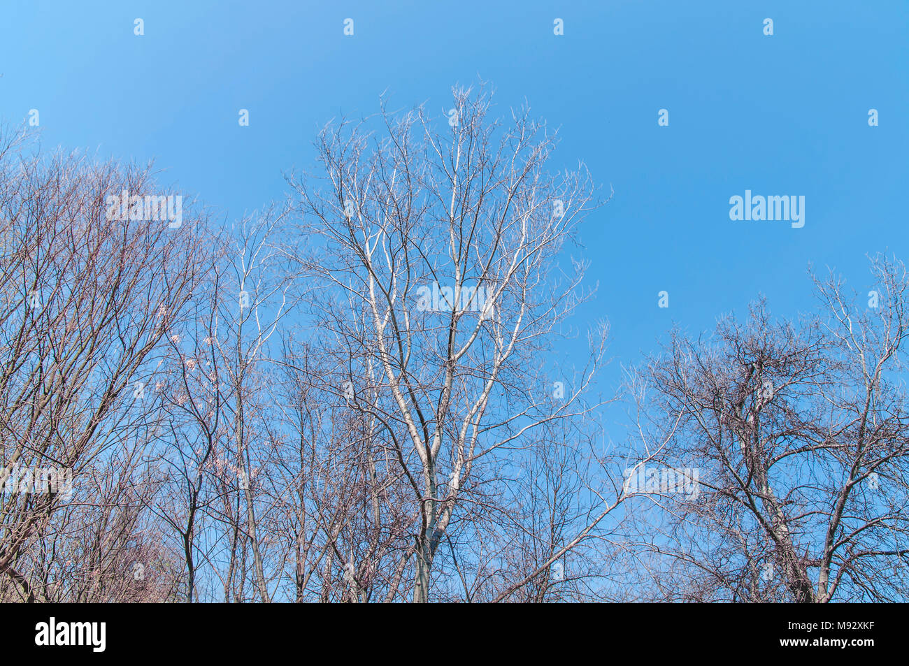 Huge trees, branches out in all directions, big blue sky, view from below - Stock Image