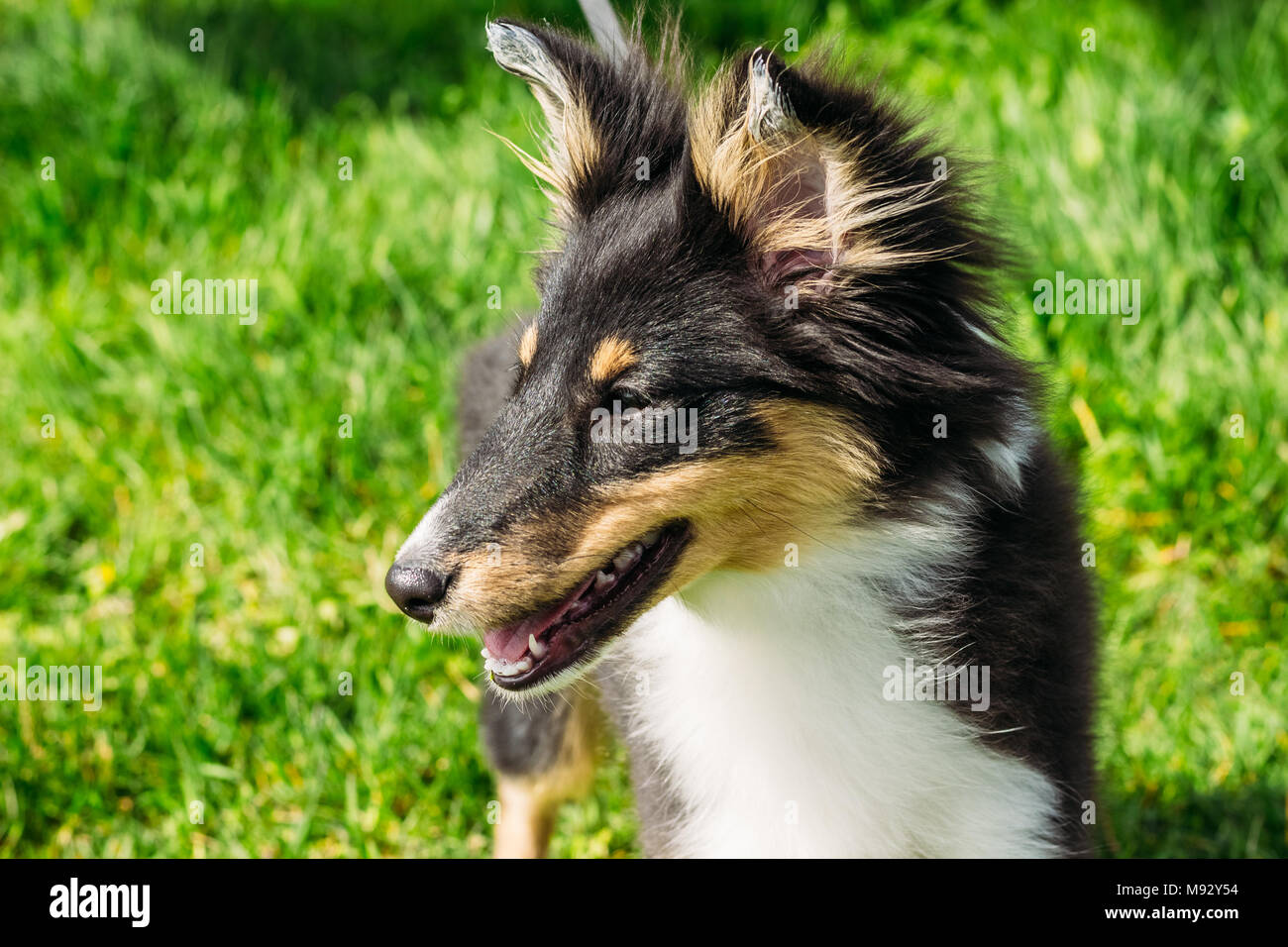 Sheltie puppy close-up. Purebred dog on a background of green grass - Stock Image
