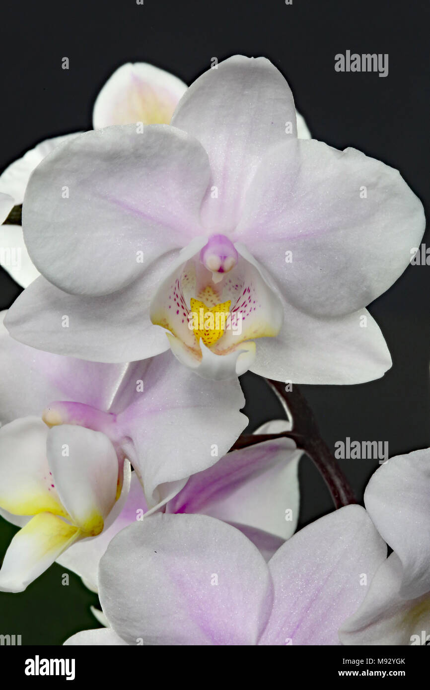 The Orchidaceae are a diverse family of flowering plants, with blooms that are often colourful and fragrant, commonly known as the orchid family. - Stock Image