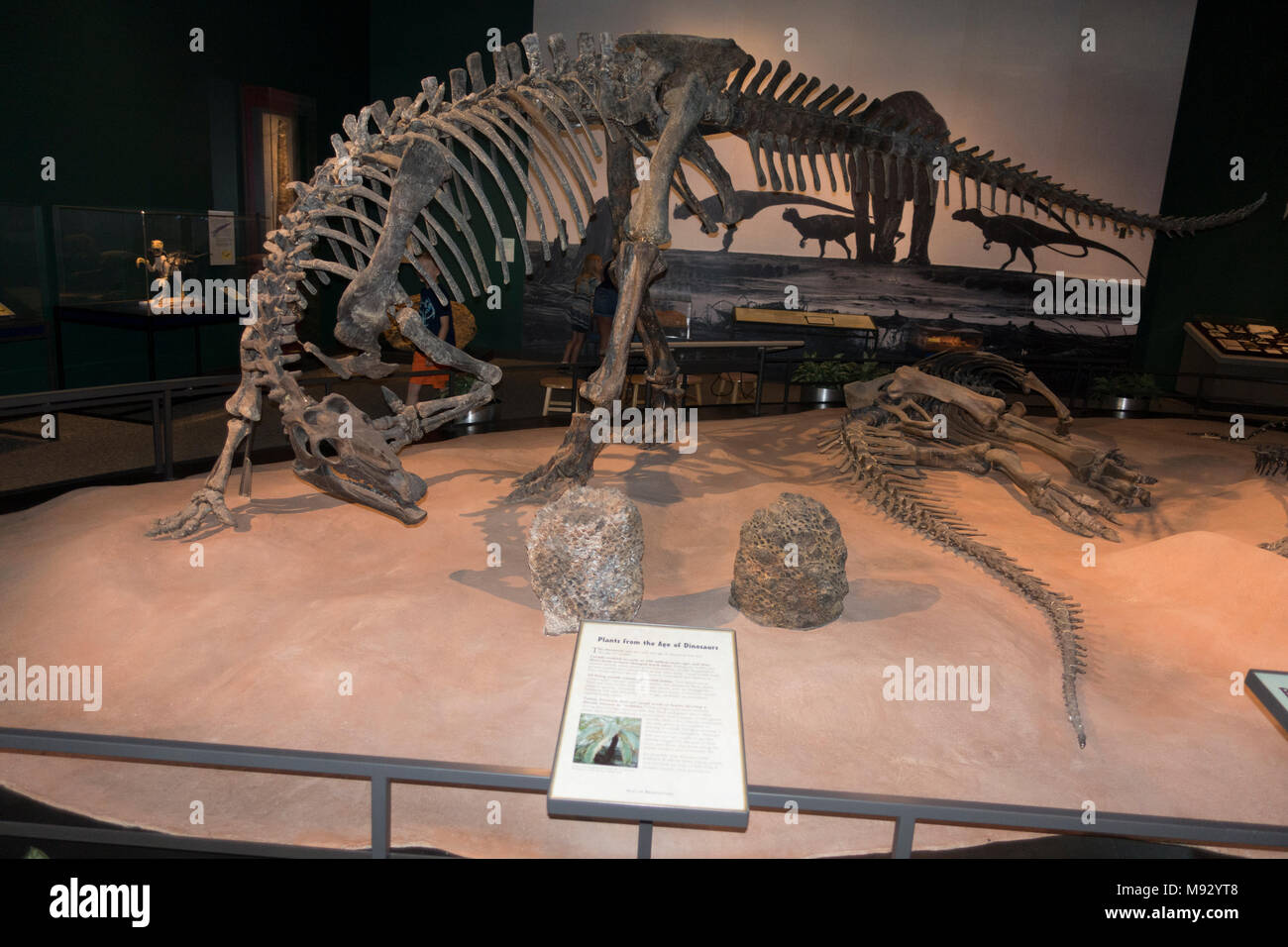 Camptosaurus a plant-eating, beaked ornithischian dinosaur of the Late Jurassic period Science Museum of Minnesota exhibit. St Paul Minnesota MN USA Stock Photo