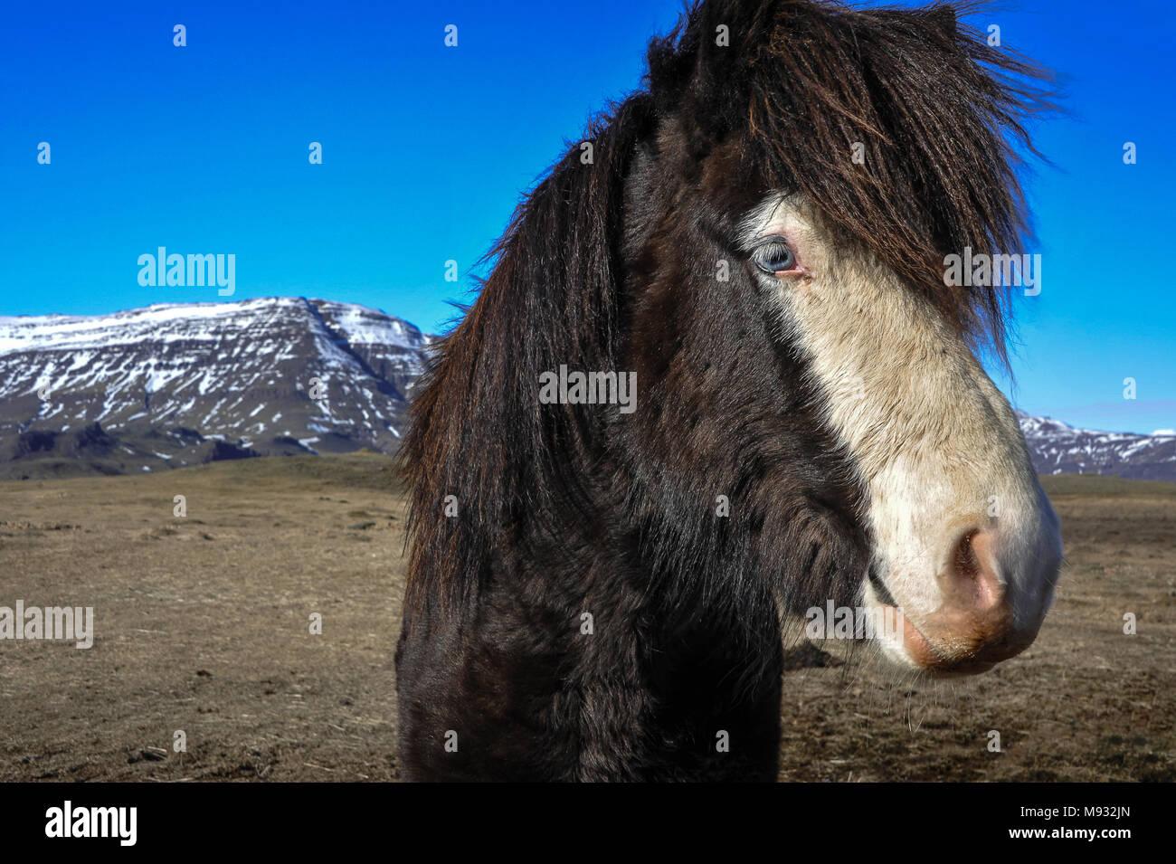 Icelandic horse, beautiful blue eyed chestnut pony in a wintry Icelandic landscape. - Stock Image