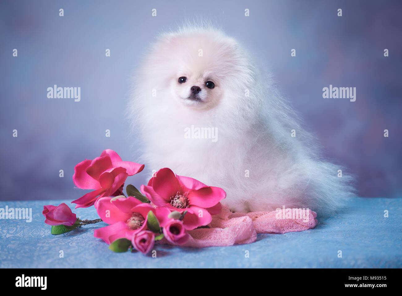 Cute White Fluffy Puppy Stock Photo Alamy
