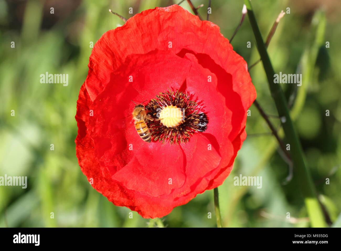 honey bee or worker apis mellifera collecting pollen on a remembrance poppy flower first world war remembering Flanders fields poem by John McCrae - Stock Image