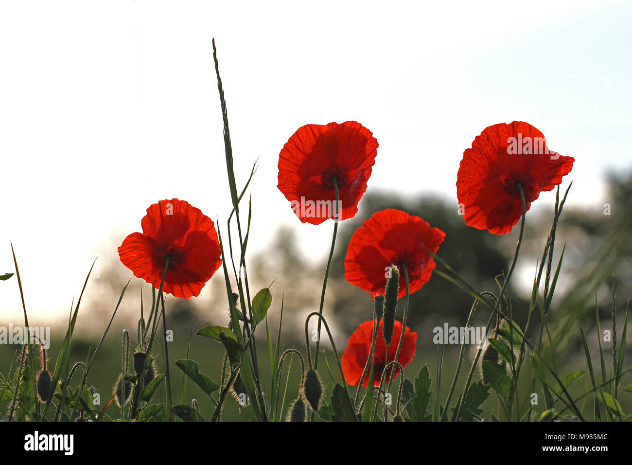 Flanders Poppies Stock Photos Flanders Poppies Stock Images Alamy