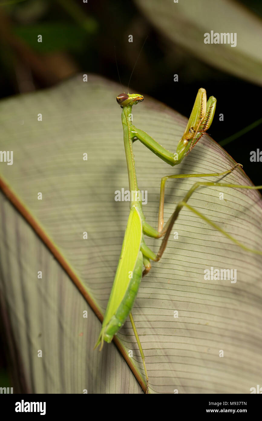 Praying mantis photographed in the jungle at night near Bakhuis, Suriname South America - Stock Image