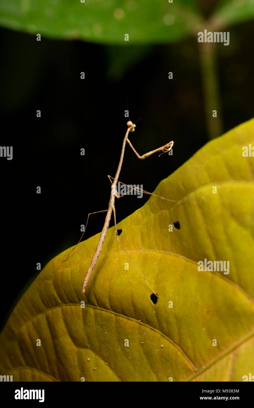 A praying mantis photographed at Raleighvallen nature reserve, Suriname, South America - Stock Image