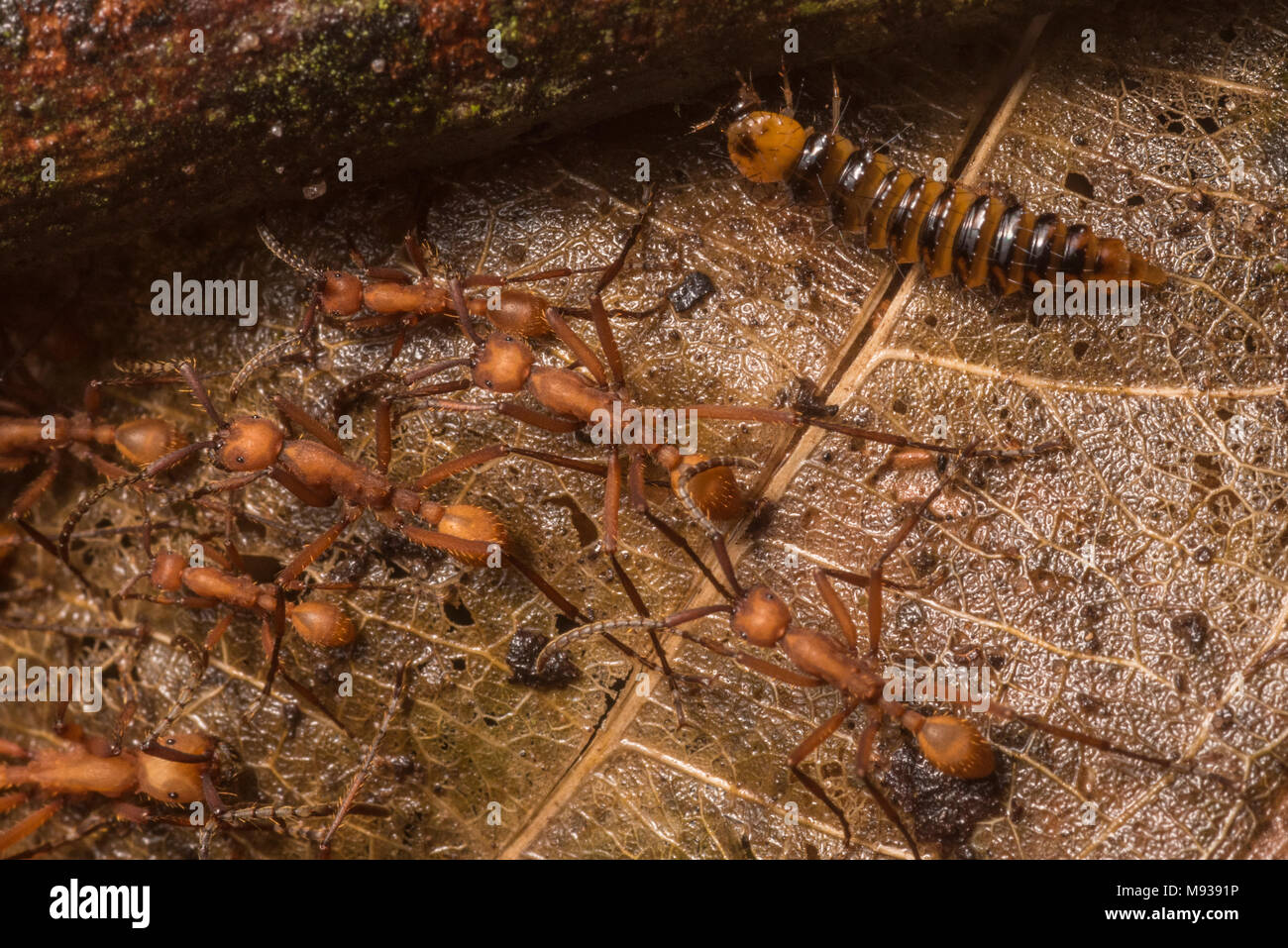 Army ants (Eciton sp) move across the forest floor accompanied by a rove beetle larva (Vatesus sp) a beetle species found in association with ants. - Stock Image