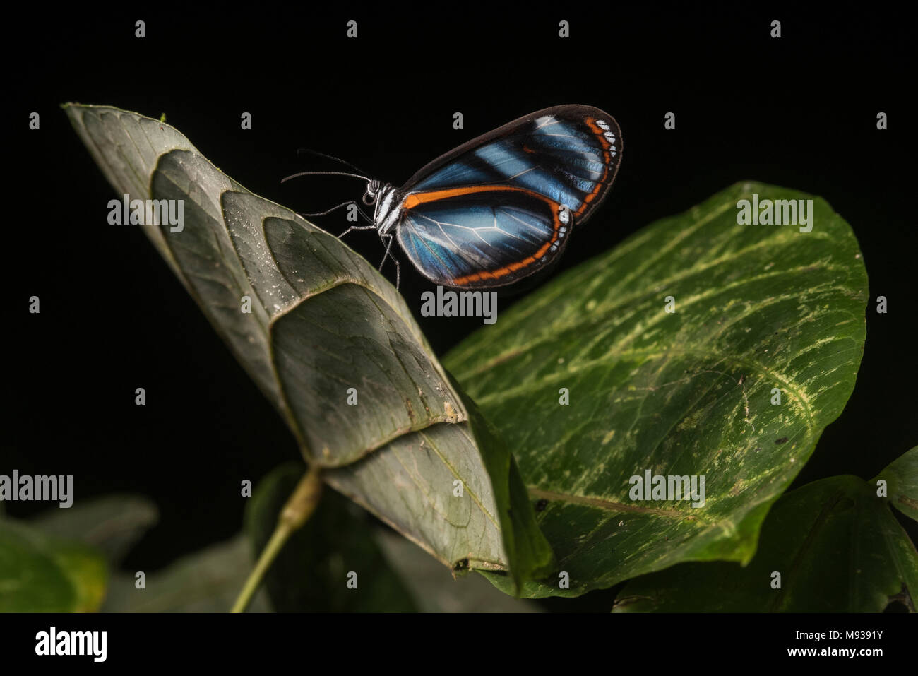 A Heliconius butterfly from Peru, this species has been used in influential mimicry studies to understand ecology and evolution. - Stock Image