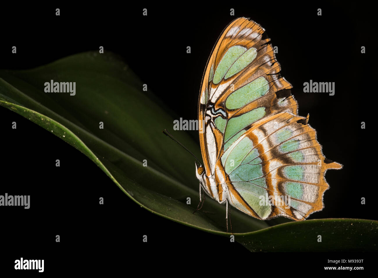 A malachite butterfly (Siproeta stelenes) a brush-footed butterfly (family Nymphalidae). Named after the mineral malachite for its green color. - Stock Image