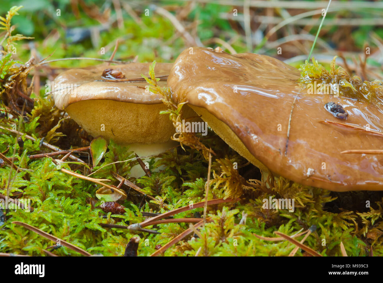 Short-stalked bolete, Suillus brevipes, growing among moss in Jasper National Park in Alberta, Canada. - Stock Image