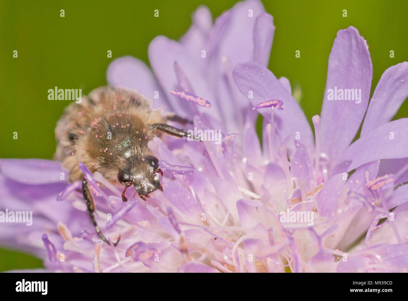 A hairy flower scarab beetle, Trichiotinus assimilis, covered in pink pollen, crawling on a field scabious flower, Knautia arvensis. - Stock Image