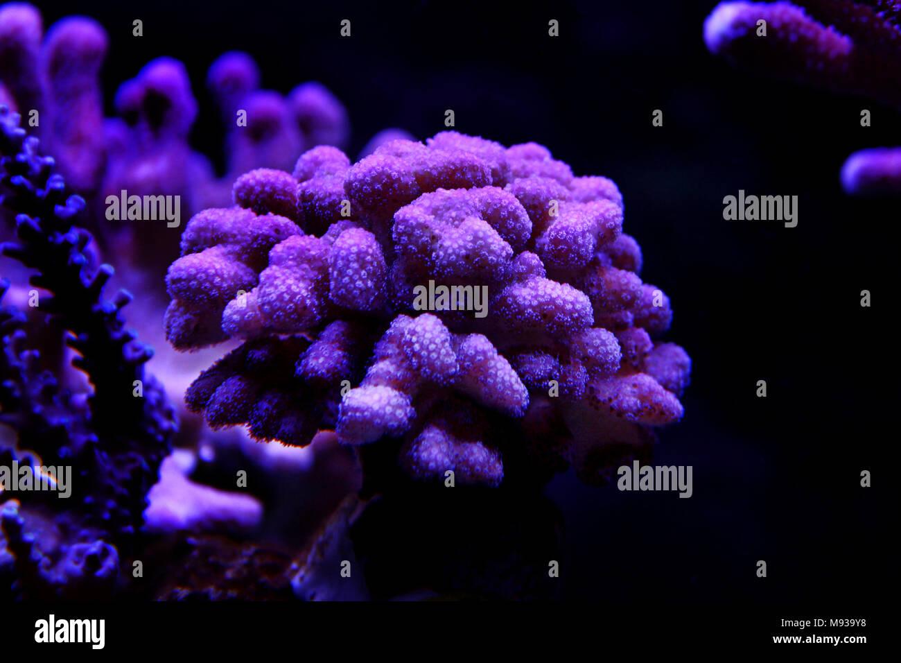 Large stony coral - Stylophora sp. - Stock Image