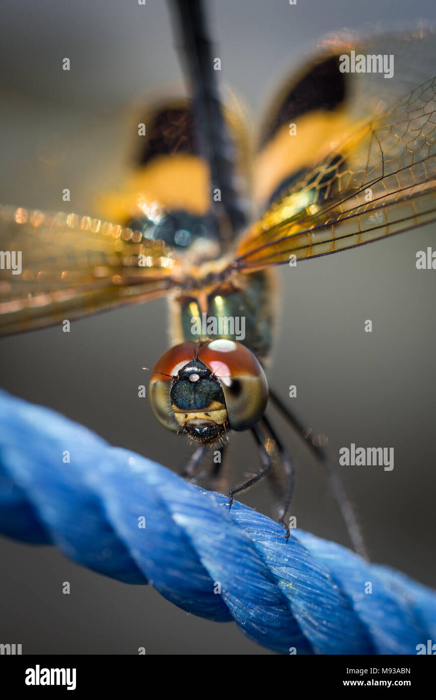 Yellow-striped flutterer Dragonfly also known as Rhyothemis phyllis Dragonfly. Wildlife and insect macro photo and extreme close-up of Dragonfly face - Stock Image