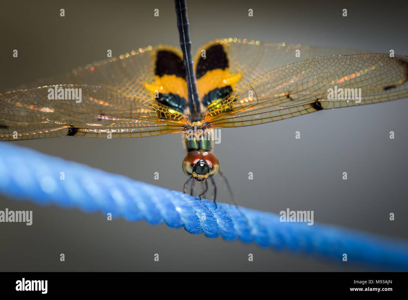Rhyothemis phyllis Dragonfly more commonly known as the yellow-striped flutterer. Detailed close-up macro photography of dragonfly obelisk posture - Stock Image