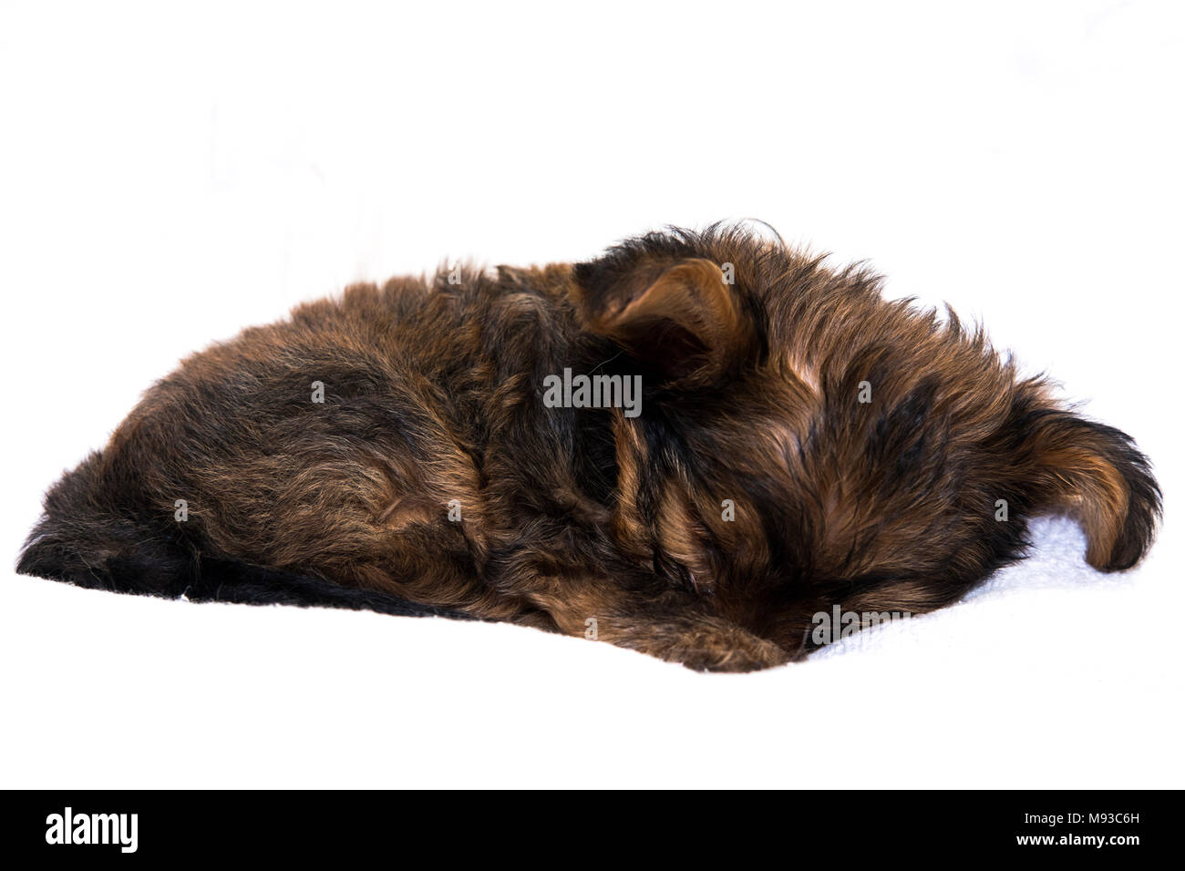 The Yorkshire Terrier is a small dog breed of terrier type, developed during the 19th century in Yorkshire, England, to catch rats in clothing mills. - Stock Image