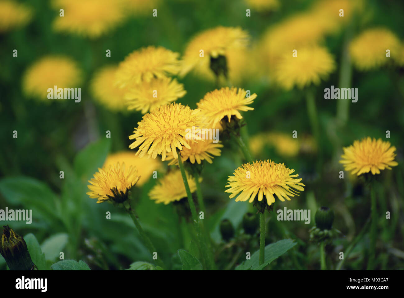 Dandelion flower meadow - Stock Image