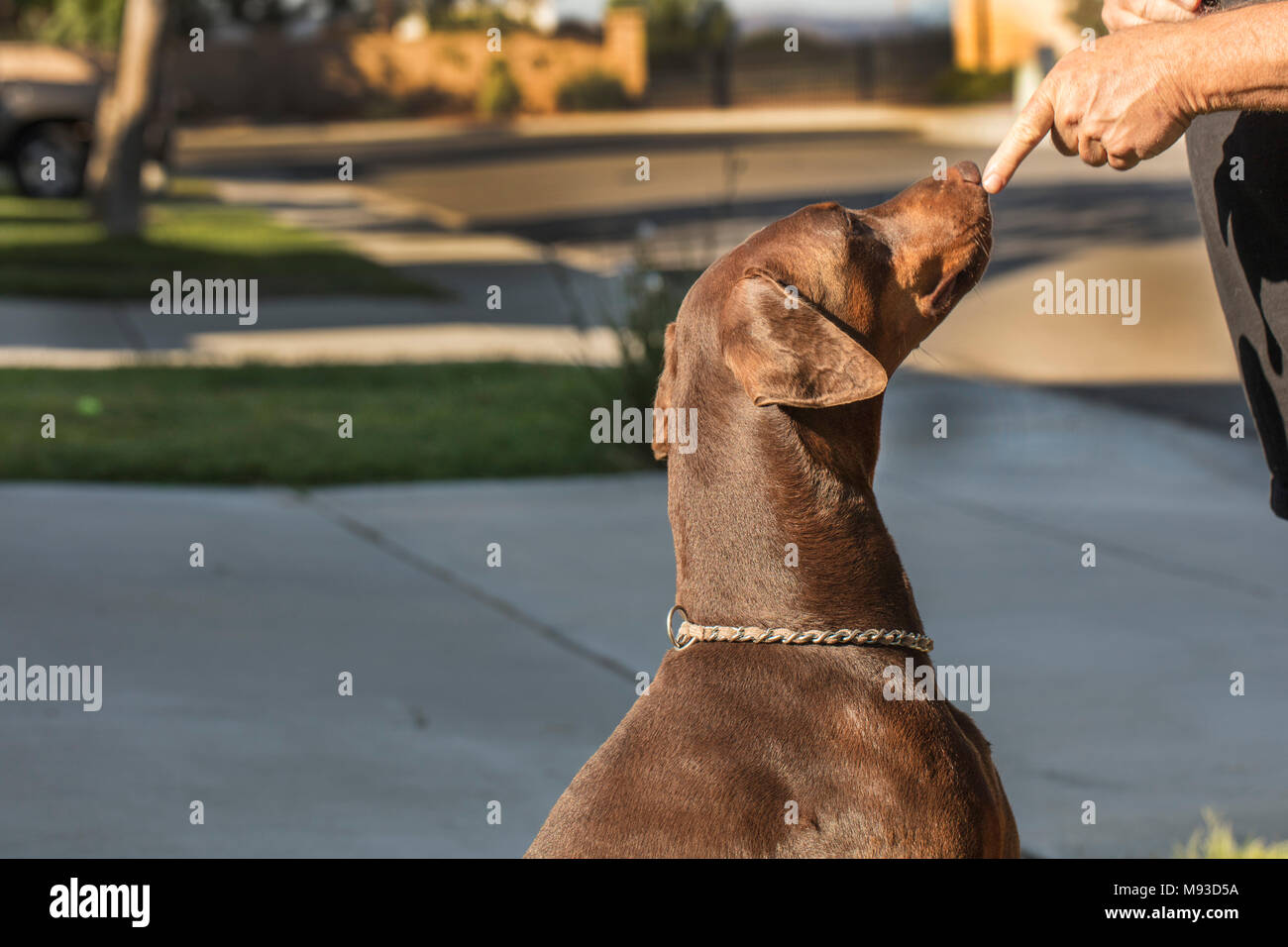 Doberman Pinscher dog being trained to sit and pay attention - Stock Image