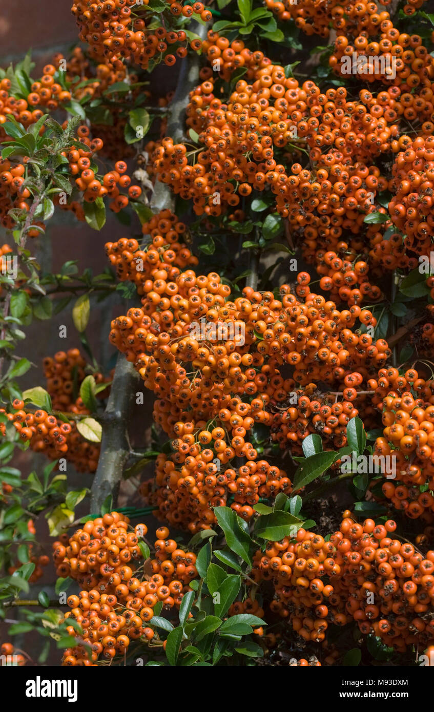 Pyracantha 'Saphyr Rouge' berries. - Stock Image