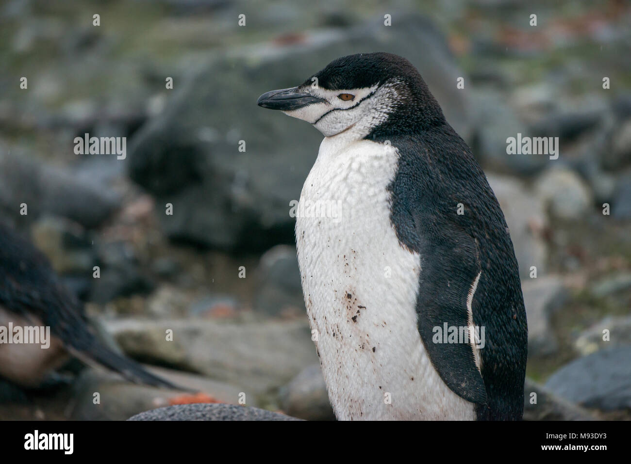 A Chinstrap Penguin (Pygoscelis antarcticus) on a rainy Half Moon Island in Antarctica - Stock Image