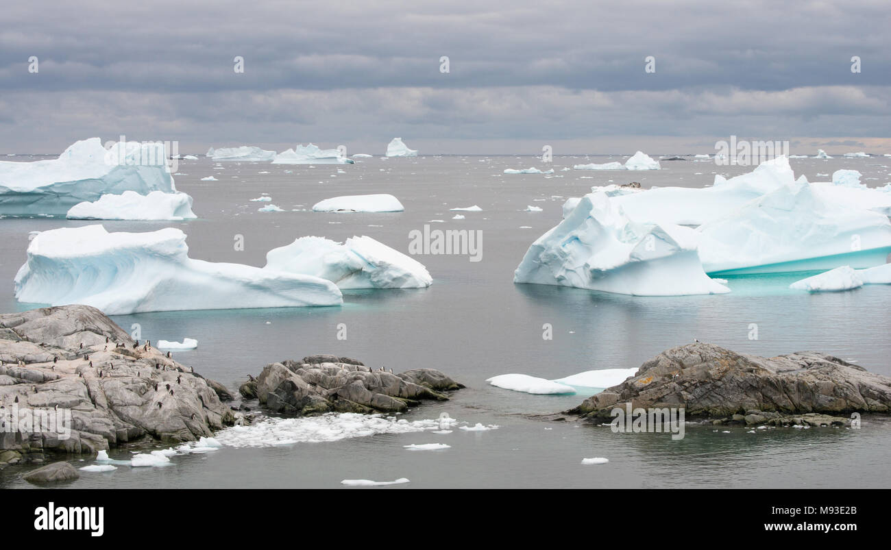 A Kelp Gull overlooks a Gentoo Penguin colony on the rocks by Iceberg Alley in Antarctica. Seals rest on a small iceberg in the centre. - Stock Image
