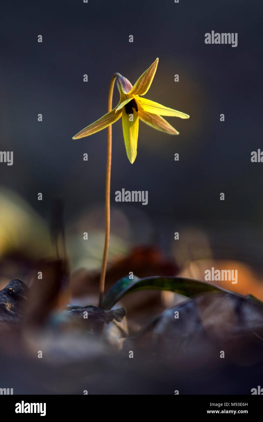 Trout Lily (very shallow depth-of-field) - Holmes Educational State Forest - Hendersonville, North Carolina, USA Stock Photo