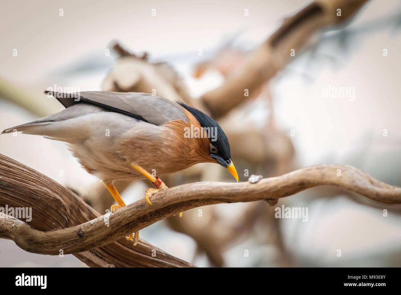 Brahminy myna bird - Stock Image