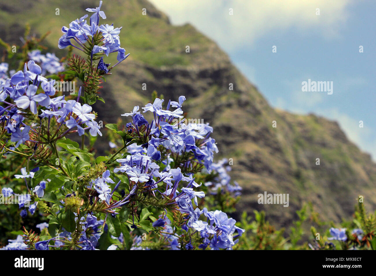 Blue flowers in the kaaawa valley on the hawaiian island of oahu blue flowers in the kaaawa valley on the hawaiian island of oahu izmirmasajfo