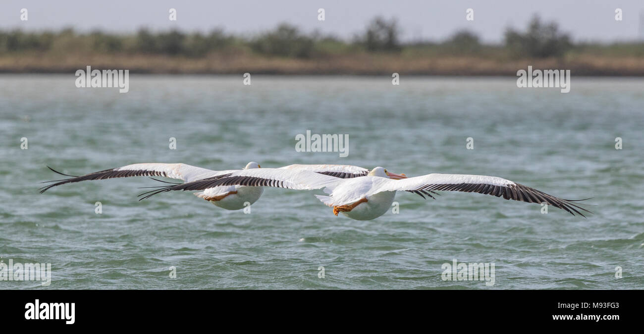 American White Pelicans in flight, flushed from oyster reef in Aransas Bay. - Stock Image